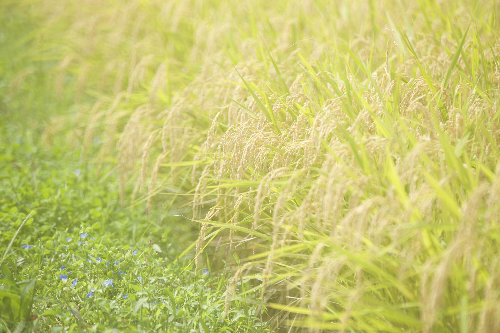 paddy-fields-of-yashirogawa-district-of-tanagura-town