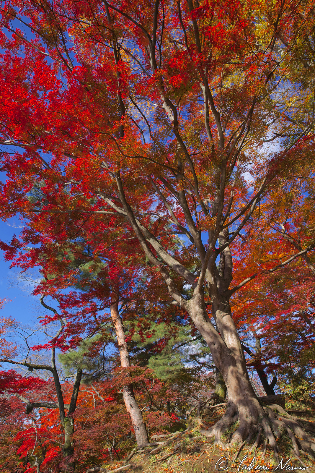 big-autumn-trees-of-site-of-tanagura-castle