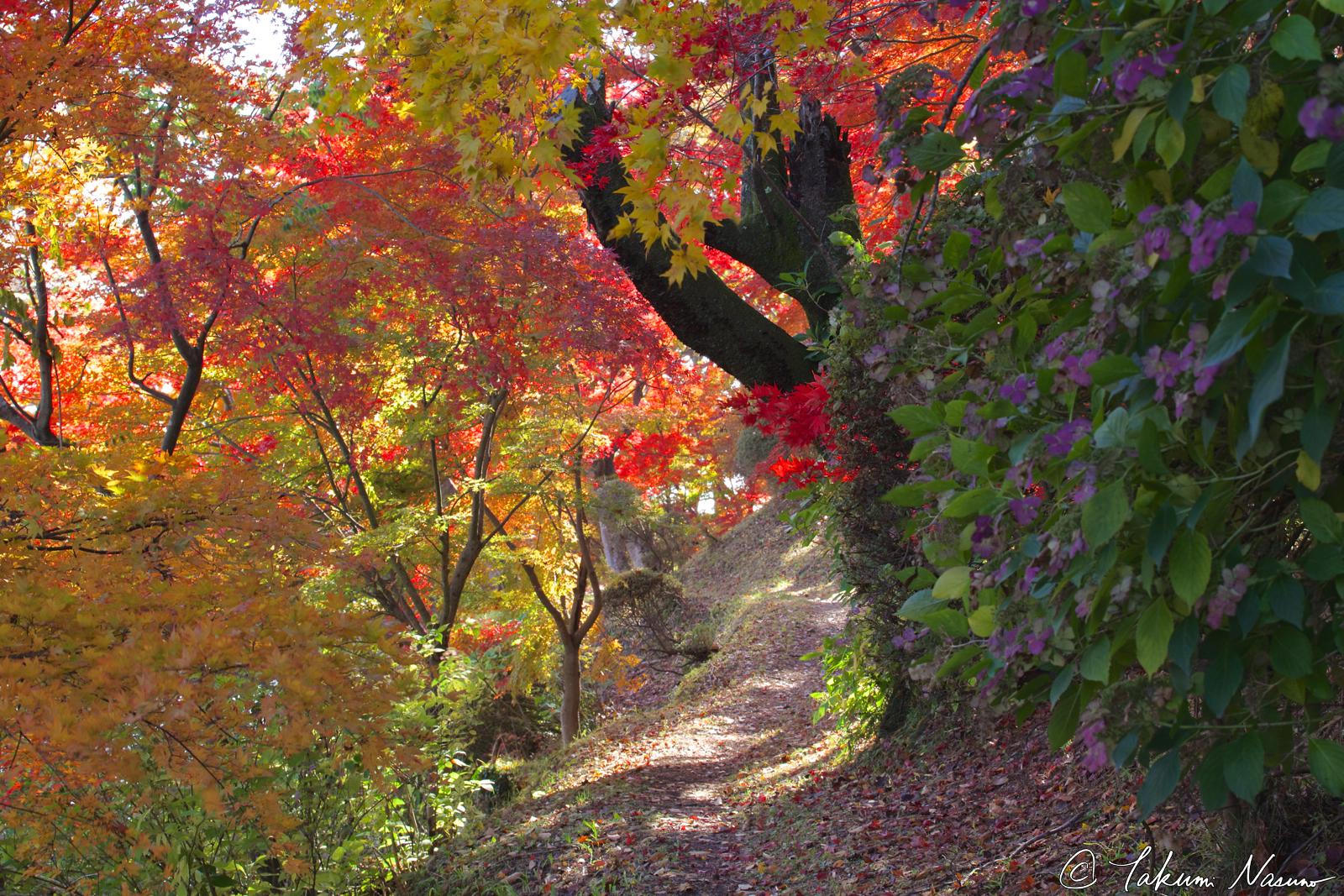hydrangea-and-autumn-colors-of-site-of-tanagura-castle