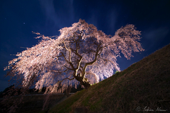One more challenge to the Weeping Sakura Tree of Hanazono - Tanagura Town -