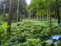 Crowdfunding - Let's Protect the Mountain with 10,000 Hydrangea which Chui-chan has Created!