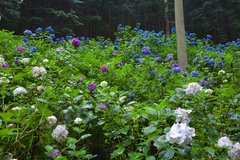 Posted on September 6, 2017 - Reviewing my Photos of Minamizawa Hydrangea Mountain before the Full Bloom