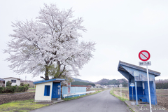 3 Sakura Spots to Enjoy along Hakuho Line to Tanagura Town with Sakura blossoms - Nanko Shrine, Shirakawa East Industrial Park, and Banzawa