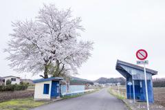 桜舞う棚倉町に向かう白棚線途中で楽しみたい桜スポット3選【南湖神社・白河東工業団地・番沢】