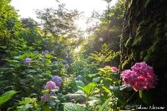 2018年の南沢あじさい山で、太陽の光を写し取ってみた